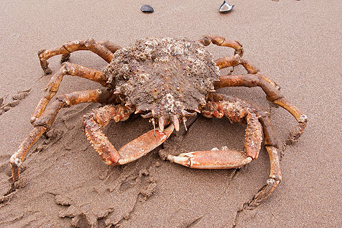 Common Spider Crab