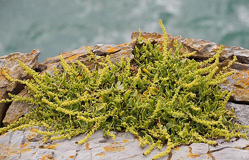Sea Beet