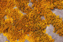 """Xanthoria Parietina""  - Fruiting Body"