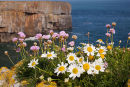 Sea Mayweed - Thrift