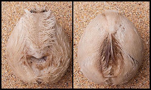 Sea Potato