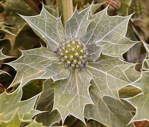 Flower - Sea Holly