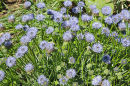 Sheep's - Bit Scabious