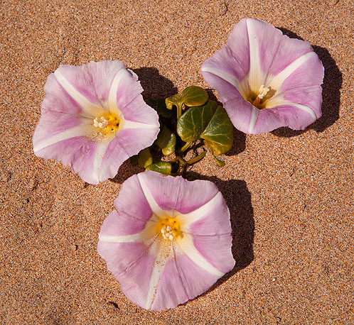 Sea Bindweed