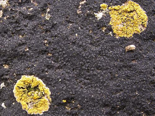 Black Tar Lichen -