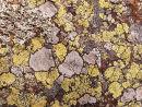 Lichens - Mosaic