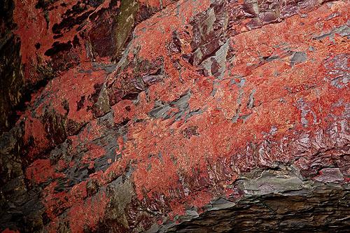 Encrusting Coralline Red Algae -