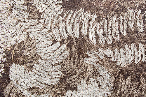 Limpet - Radula marks