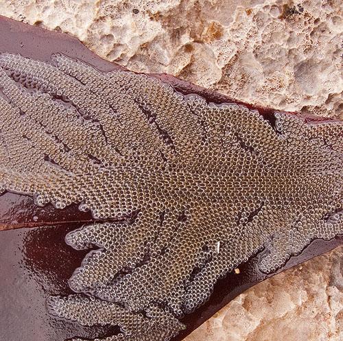 Bryozoa - Sea Mat