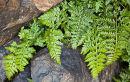 Lanceolate Spleenwort