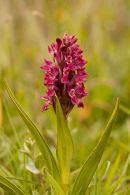 Kenfig - Early Marsh Orchid