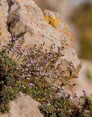 Rock Sea lavender