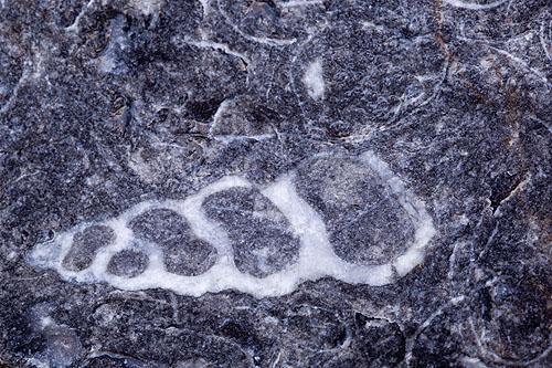Gastropod ? ( Sea Snail ) - Fossil
