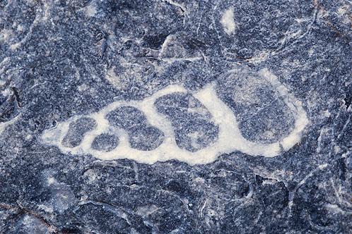 Fossil - Gastropod ( Sea Snail )