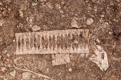 Fossils - Crinoid