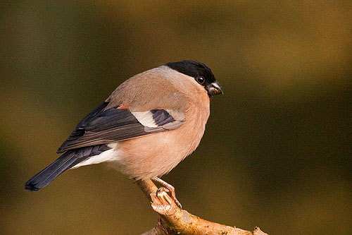 Bullfinch - Female