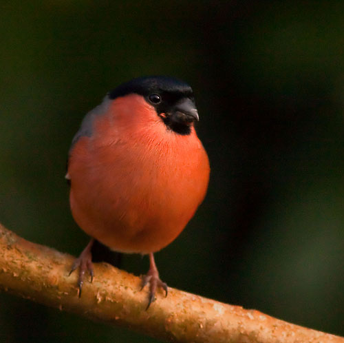 Bullfinch - Male