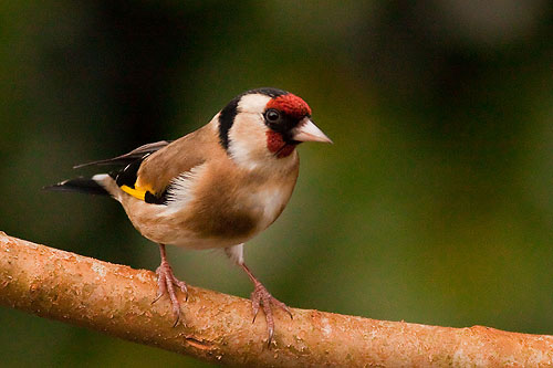 Goldfinch - Male