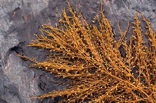 Sargassum Muticum (Wireweed)