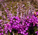 Bell Heather / Heather