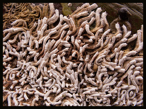 Tube Worm - Pomatoceros Triqueter