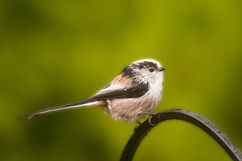 Long -Tailed Tit