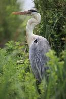 01D-1935a Grey Heron Ardea cinerea.