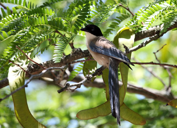 01D-5818 Azure Winged Magpie Cyanopica cyana Perched in Tree Monfrague National Park Spain