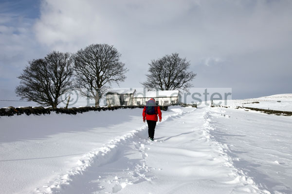 01D-9177 Walker on the Track Between Bowlees and Ash Hill in Winter Snow Teesdale County Durham