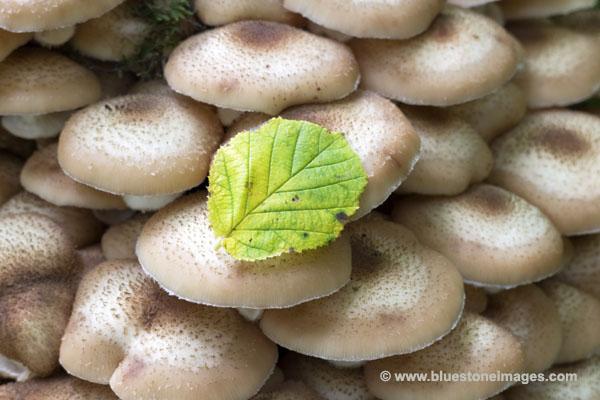 01M-1690 Autumn Leaf on Fungi UK.