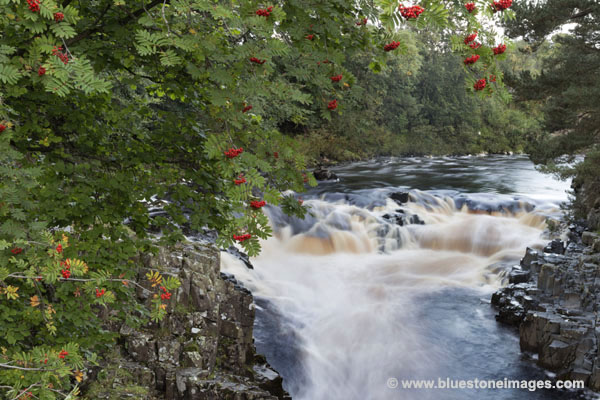 01M-2868 Rowan Berries and the River Tees at Low Force Bowlees Upper Teesdale County Durham UK.