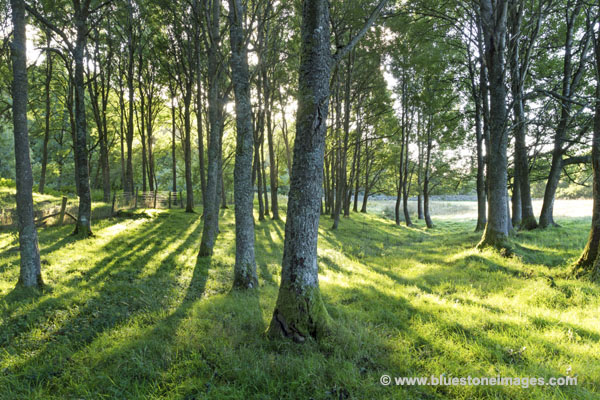 01M-2979 Woodland in Early Morning Light Teesdale County Durham UK