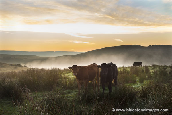01M-3416a Cows in Pre Dawn Light with Mist Rising from the Tees Valley Behind, Cronkley Area of Upper Teesdale