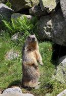02D-6414 Alpine Marmot Marmota marmota Pyrenees France