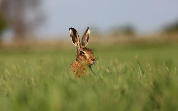 03D-2581 Brown Hare Lepus europaeus