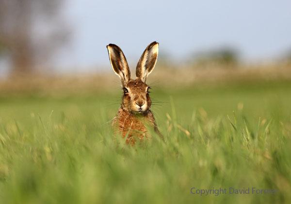 03D-2590a Brown Hare Lepus europaeus.