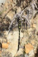 03D-3666 Golden-Ringed Dragonfly Cordulegaster boltonii.