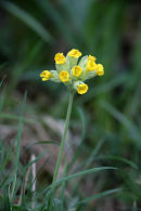 03D-4123 Cowslip Primula veris Flower Upper Teesdale County Durham UK