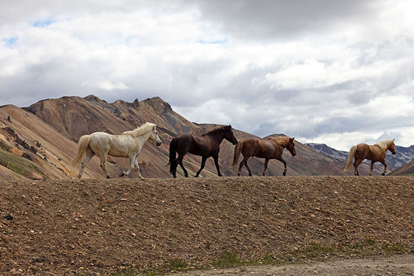 03D-4495 Icelandic Horses and the Barmur Rhyolite Mountains Landmannalaugar in the Fjallabak Area of Iceland