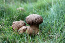 03D-7420 Mature Common Puffball Fungi Lycoperdon perlatum
