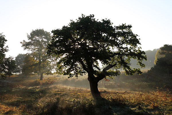 03D-7930 Oak Trees With Mist Rising from the Ground in Autumn