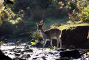 03D-8097 Female Fallow Deer Dama Dama Crossing a Stream in Autumn Woodland