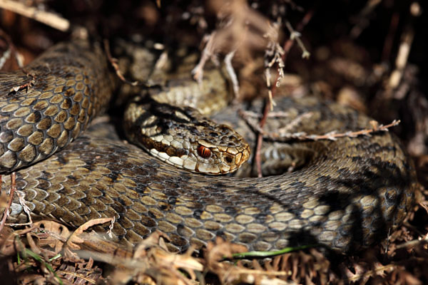 04D-4719 Adder Vipera Berus Teesdale County Durham
