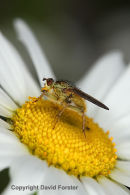 05D-0812 Yellow Dung-Fly Scathophaga stercoraria Pollinating an Ox-eye Daisy Flower UK