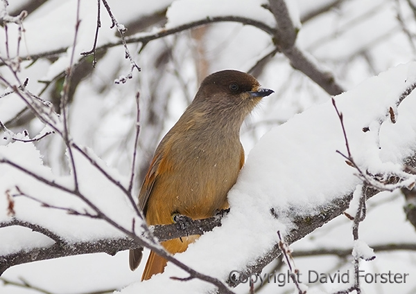 05D-0882a Siberian Jay Perisoreus infaustus Perched in Snow Covered Birch Tree Lapland Finland.
