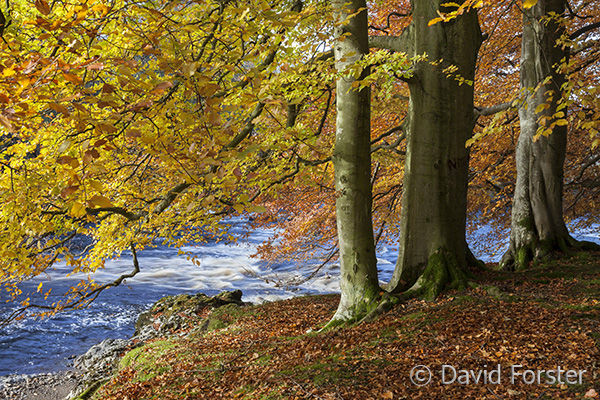 05D-7755 Autumn Beech Trees on the Banks of the River Tees Near Low Force and Wynch Bridge Bowlees Upper Teesdale County Durham UK.