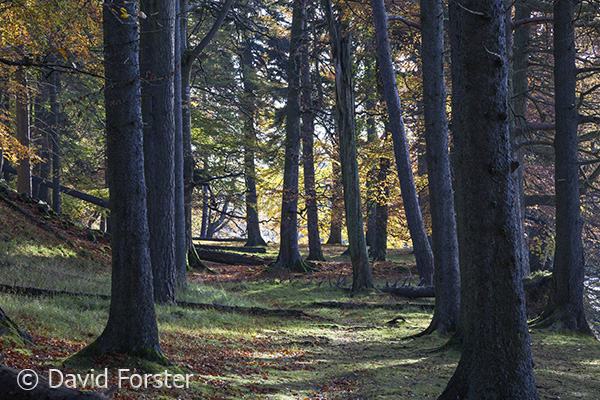 05D-7828 Mixed Woodland Containing Deciduous and None Deciduous Pine Trees in Autumn UK