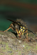06-3519 Common Wasp (Vespula vulgaris) Queen cleaning and Showing Internal Mouth-Parts