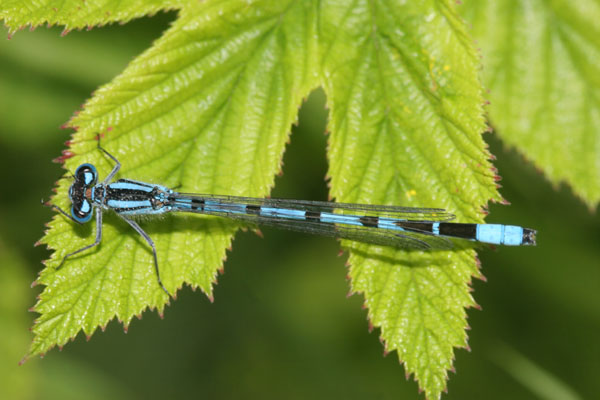 06-6184 Common Blue Damselfly (Enallagma cyathigerum) on Leaf, Low Barns Nature Reserve, County Durham