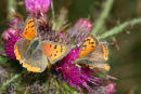 06-6477 Small Copper (Lycaena phlaeas) on Thistle Head.